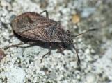 B.nubilus