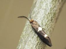 I. masculella