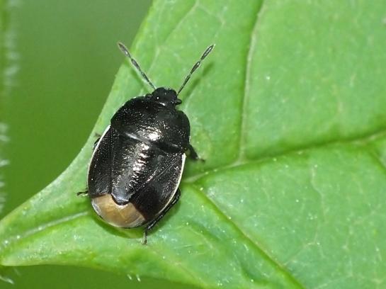 L.limbosus