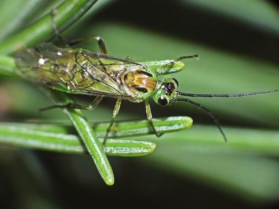 N poecilonotus