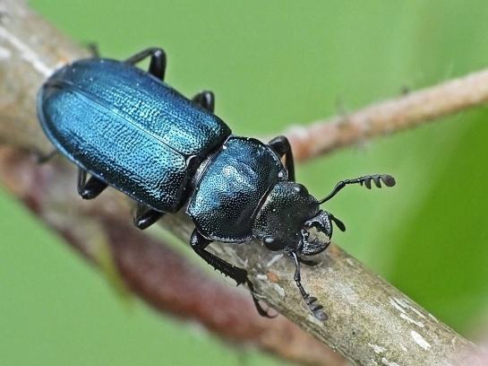 P.caraboides.