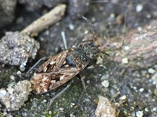 S.nebulosus