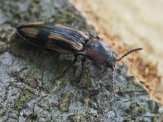 Sel. cruciatus