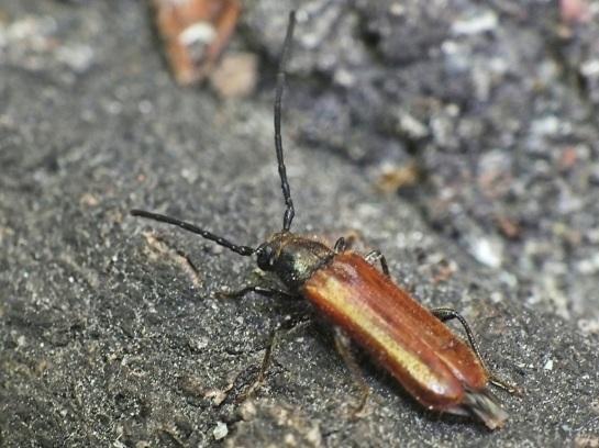A.barbipes