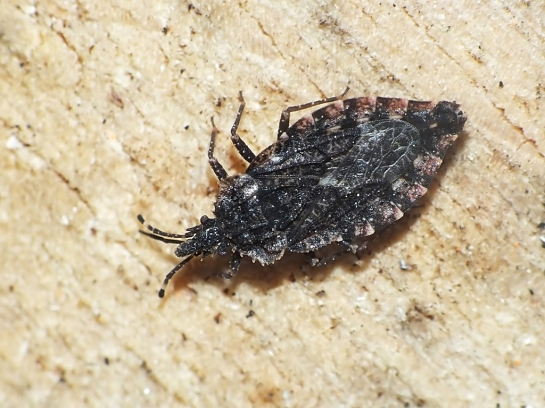 A. betulae