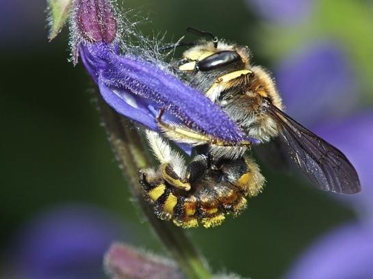 A.manicatum