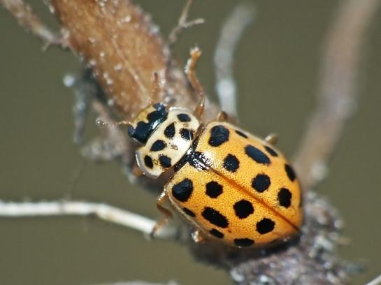 A.novemdecimpunctata