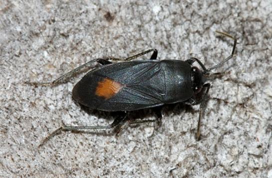 A.rolandri