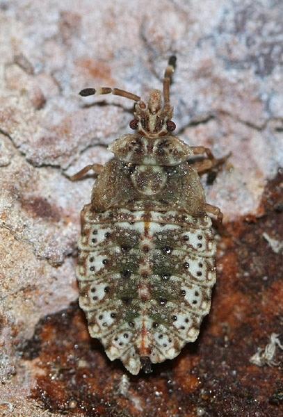 A.obtectus nymph