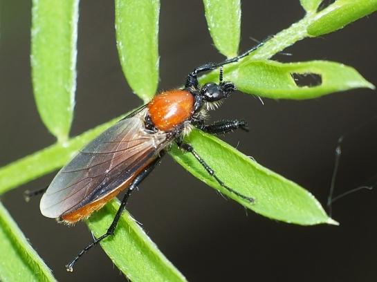B. hortulanus