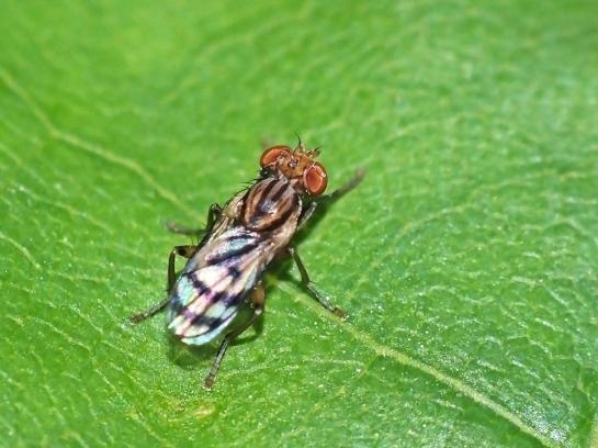 C.bifasciella