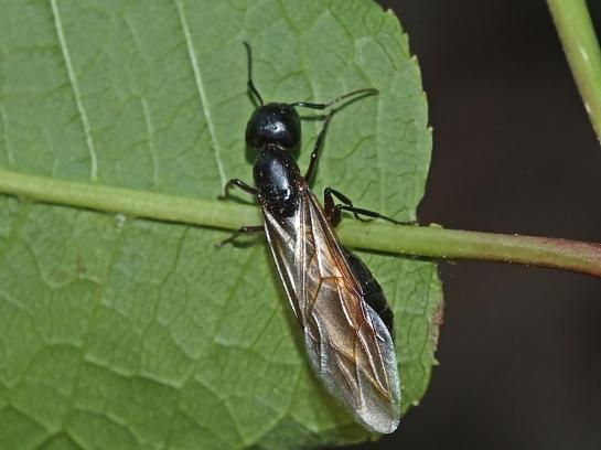 C.herculeanus.