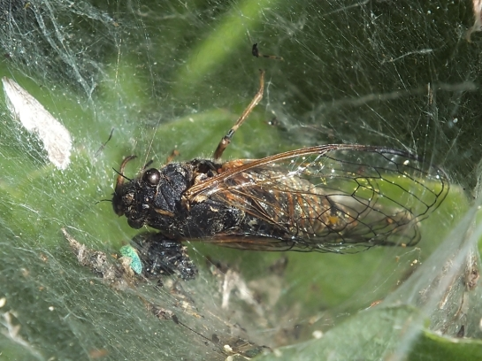 C.montana