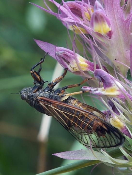 C.podolica