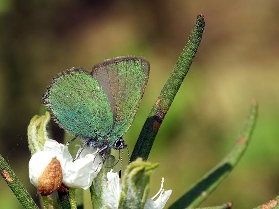 C.rubi