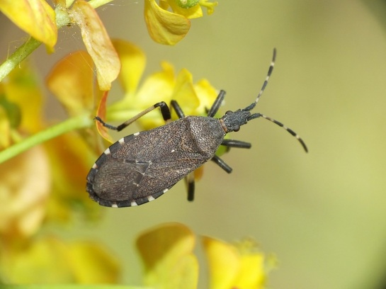 Dicranocephalus
