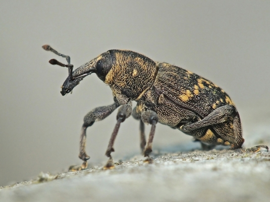 H.abietis