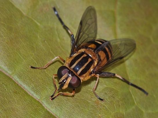 H.affinia