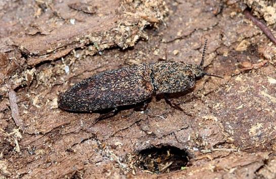 L.lepidopterus