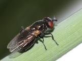 Lejogaster