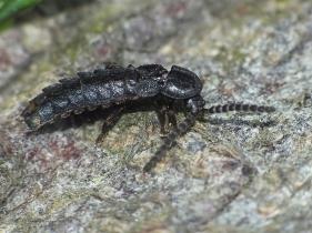 P.hemipterus.