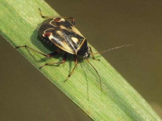 P.unifasciatus