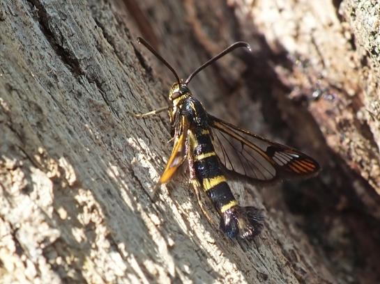 S.conopiformis