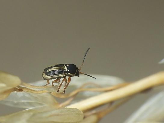 C.bilineatus