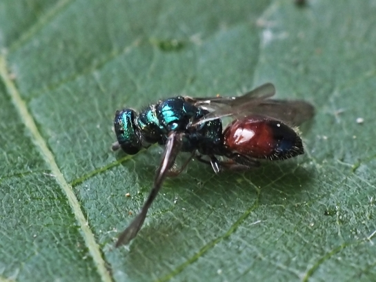 Cl.semicyaneus