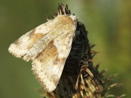 H.viriplaca