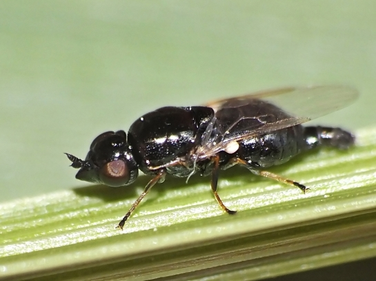 N.brevirostris female