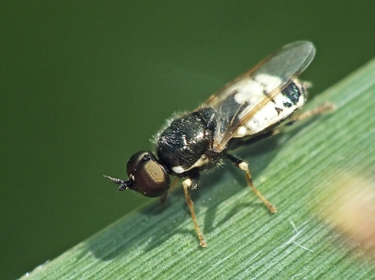 N brevirostris male