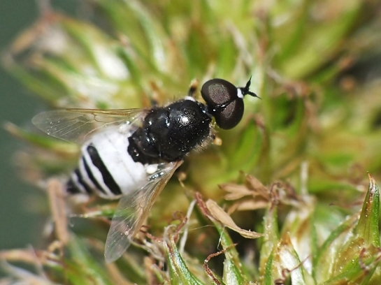 N. uliginosus