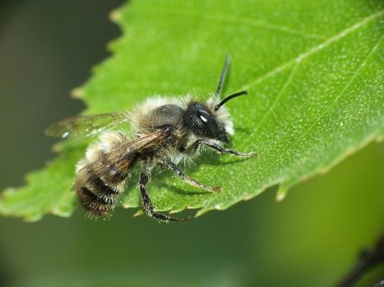 O. bicornis male