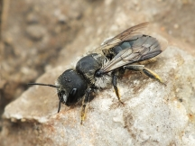 O.brevicornis