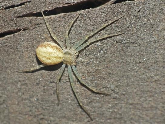 Ph. albidus