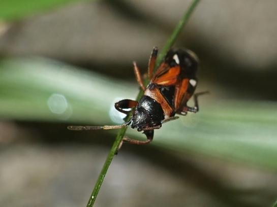 R.alboacuminatus