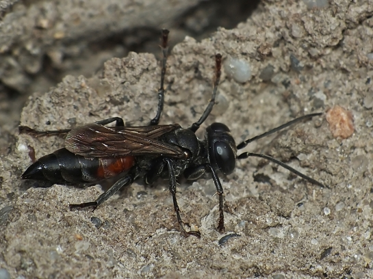 Tachysphex species