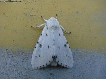 A.leporina
