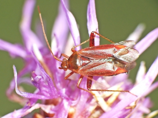 A ticinensis