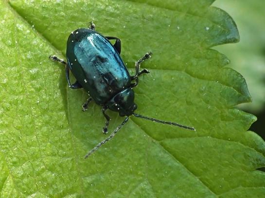 Altica species