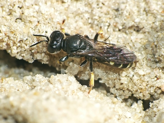 C.scutellatus