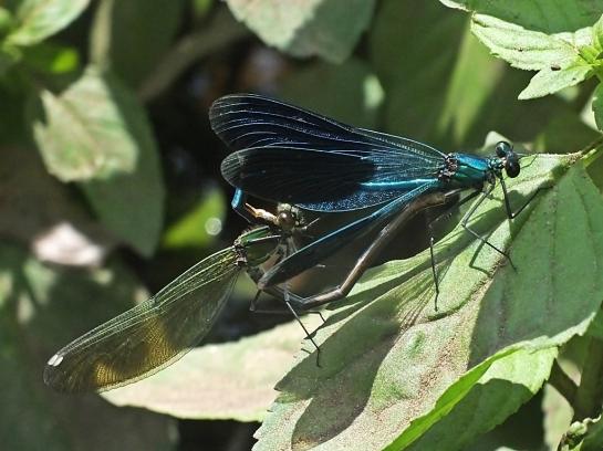 C.splendens