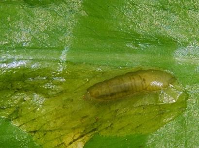 Ch. fasciata mina