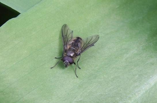 Ch. fasciata