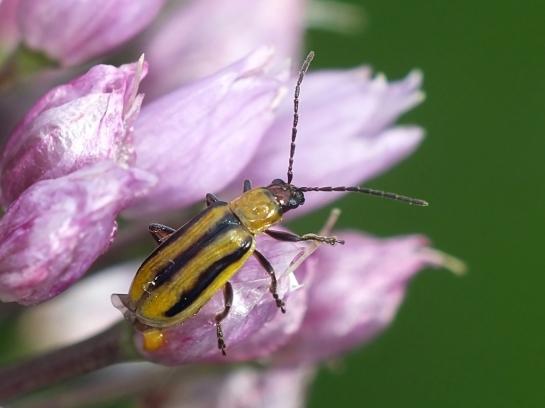 D.virgifera
