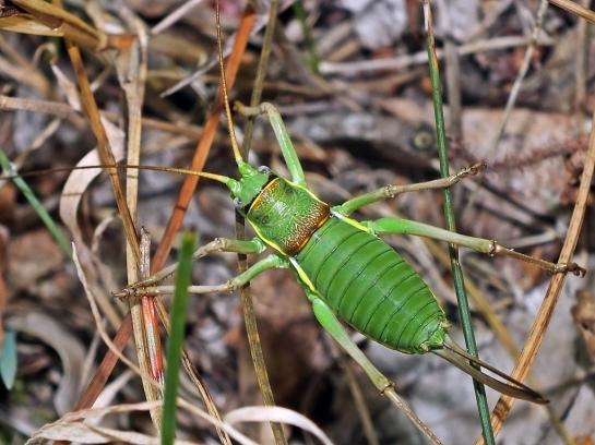 E.ephippigger