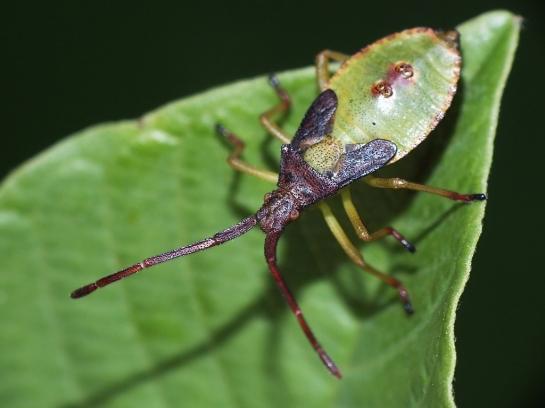 G.acuteangulatus nymph