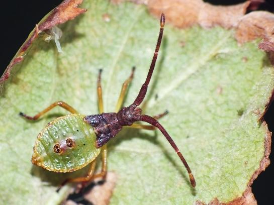 Gonocerus nyph.