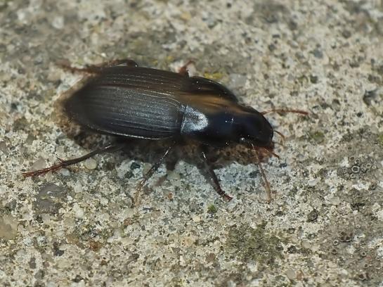 H.tardus